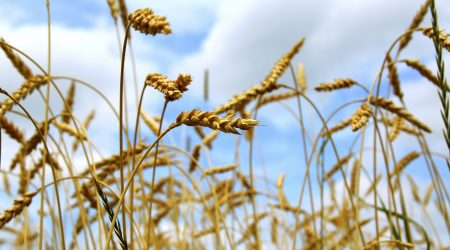 Close up on grain ready for harvest growing in a farm field